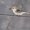 American Tree Sparrow <br /> Bridgeton, Mo. <br /> 02/23/2013