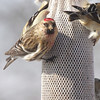 Common Redpoll <br /> Bridgeton, Mo. <br /> 02/25/2013