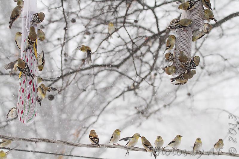 American Goldfinch <br /> City of Bridgeton <br /> St. Louis County, Missouri <br /> 02/21/2013