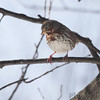 Fox Sparrow <br /> Bridgeton, Mo. <br /> 02/23/2013