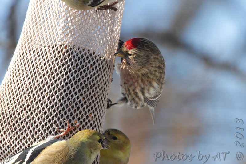 Common Redpoll <br /> and American Goldfinch<br /> Bridgeton, Mo. <br /> 02/24/2013