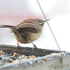 Carolina Wren <br /> City of Bridgeton <br /> St. Louis County, Missouri <br /> 02/27/2013
