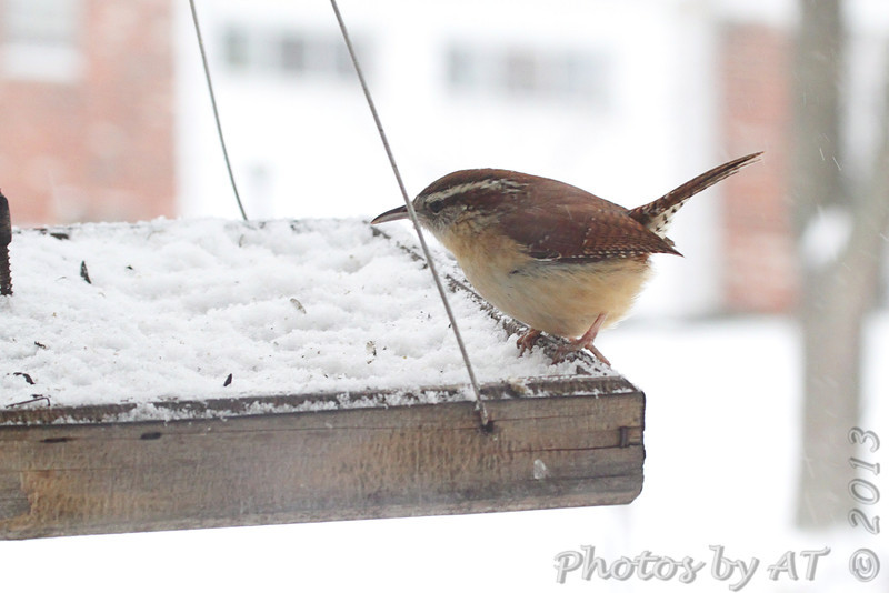 Carolina Wren <br /> Bridgeton, Mo. <br /> 02/21/2013
