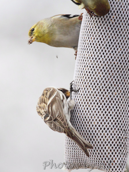 Common Redpoll <br /> and American Goldfinch<br /> Bridgeton, Mo. <br /> 02/18/2013
