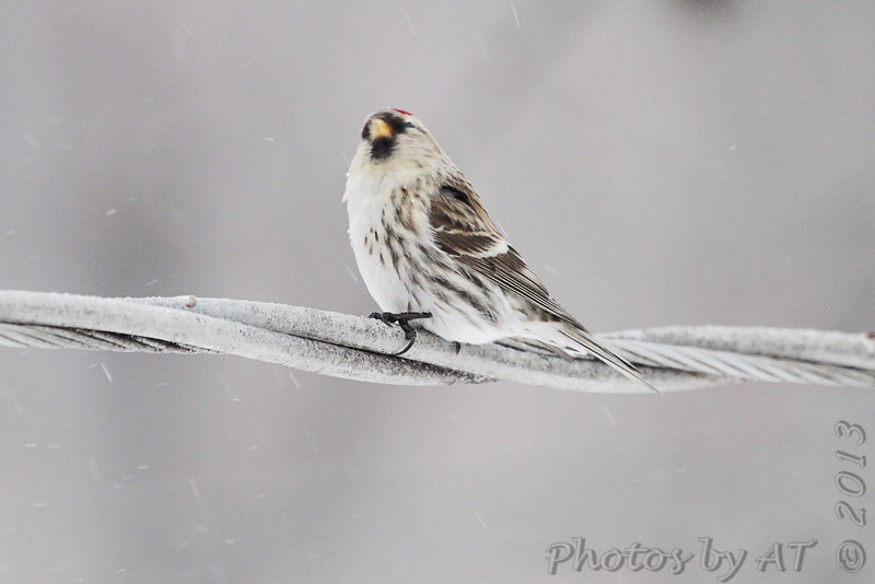 Common Redpoll <br /> Bridgeton, Mo. <br /> 02/21/2013