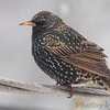 European Starling <br /> Bridgeton, Mo. <br /> 02/21/2013