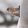 Common Redpoll  (male) <br /> Bridgeton, Mo. <br /> 02/21/2013