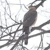 Cooper's Hawk <br /> City of Bridgeton <br /> St. Louis County, Missouri <br /> 02/21/2013