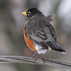 American Robin <br /> City of Bridgeton <br /> St. Louis County, Missouri <br /> 02/22/2013