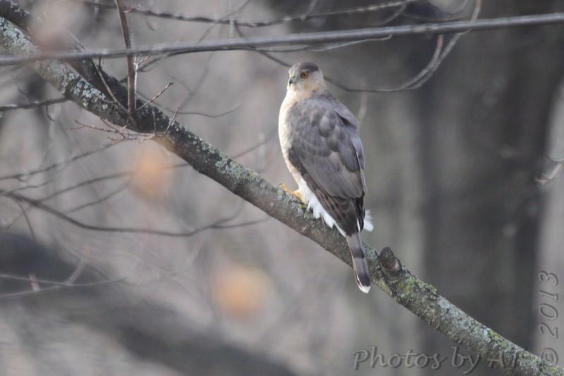 Cooper's Hawk <br /> Bridgeton, Mo. <br /> 02/17/2013