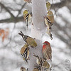 Common Redpoll (male and female) <br /> House and American Goldfinch<br /> Bridgeton, Mo. <br /> 02/21/2013