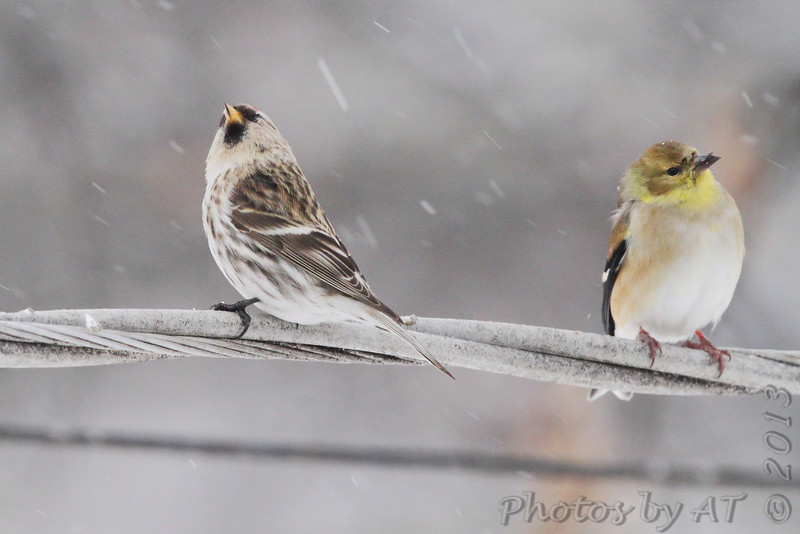 Common Redpoll <br /> and American Goldfinch<br /> City of Bridgeton <br /> St. Louis County, Missouri <br /> 02/21/2013