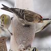 Common Redpoll <br /> and American Goldfinch<br /> Bridgeton, Mo. <br /> 02/22/2013