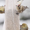 Common Redpoll <br /> and American Goldfinch <br /> City of Bridgeton <br /> St. Louis County, Missouri <br /> 02/26/2013