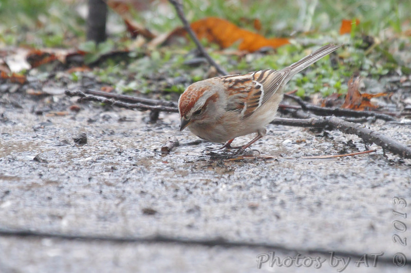 American Tree Sparrow <br /> City of Bridgeton <br /> St. Louis County, Missouri <br /> 02/27/2013