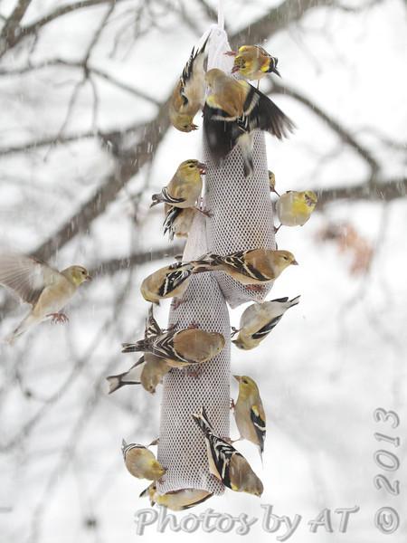 American Goldfinch <br /> Bridgeton, Mo. <br /> 02/21/2013