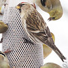 Common Redpoll (female)<br /> Bridgeton, Mo. <br /> 02/21/2013