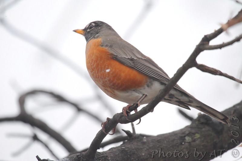 American Robin <br /> City of Bridgeton <br /> St. Louis County, Missouri <br /> 02/27/2013