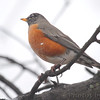American Robin <br /> City of Bridgeton <br /> St. Louis County, Missouri <br /> 02/27/2013