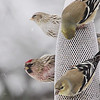 Common Redpoll (male and female) <br /> and American Goldfinch<br /> Bridgeton, Mo. <br /> 02/21/2013
