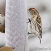 Common Redpoll <br /> and American Goldfinch <br /> Bridgeton, Mo. <br /> 02/26/2013