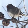 Dark-eyed Junco <br /> Bridgeton, Mo. <br /> 02/23/2013