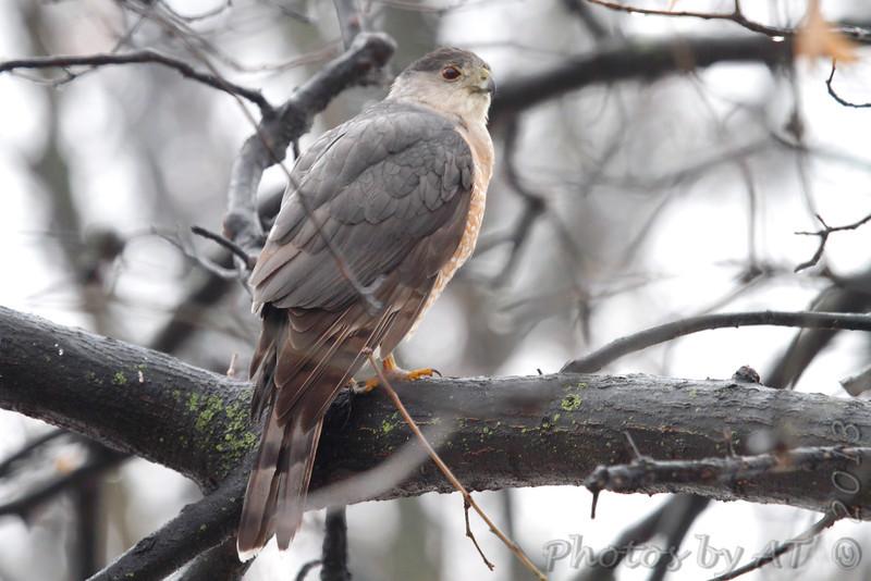 Cooper's Hawk <br /> City of Bridgeton <br /> St. Louis County, Missouri <br /> 02/26/2013