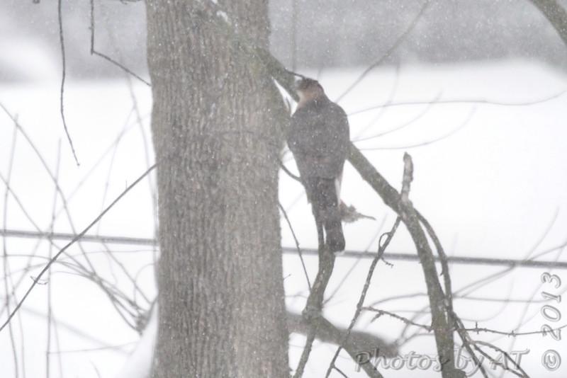 Cooper's Hawk <br /> Bridgeton, Mo. <br /> 02/21/2013
