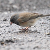 Dark-eyed Junco (Oregon) <br /> City of Bridgeton <br /> St. Louis County, Missouri <br /> 02/27/2013