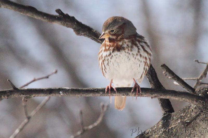 Fox Sparrow <br /> Bridgeton, Mo. <br /> 02/23/2013