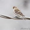 Common Redpoll <br /> Bridgeton, Mo. <br /> 02/27/2013