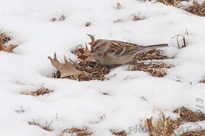 American Tree Sparrow <br /> Bridgeton, Mo. <br /> 02/25/2013