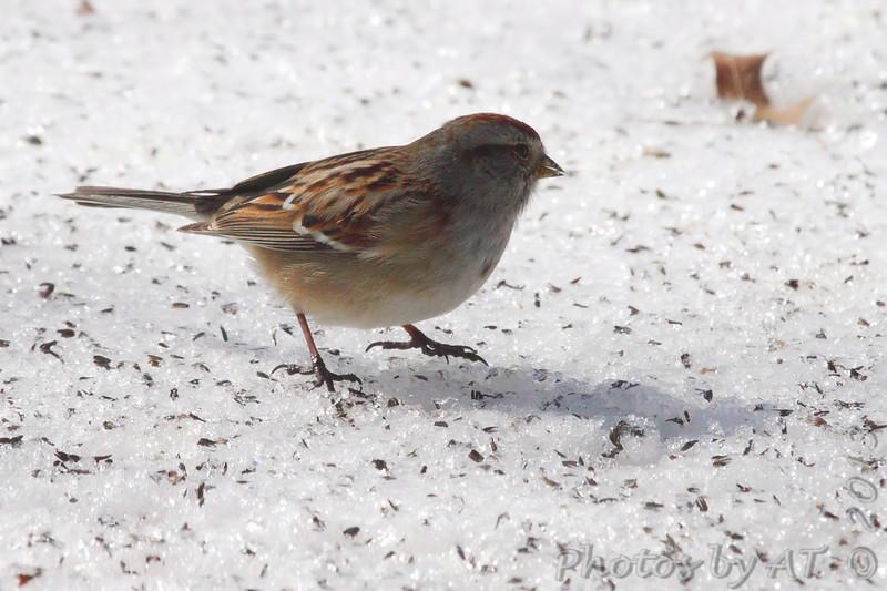 American Tree Sparrow <br /> Bridgeton, Mo. <br /> 02/23/2013