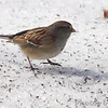 American Tree Sparrow <br /> City of Bridgeton <br /> St. Louis County, Missouri <br /> 02/23/2013