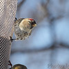 Common Redpoll <br /> and American Goldfinch<br /> City of Bridgeton <br /> St. Louis County, Missouri <br /> 02/24/2013