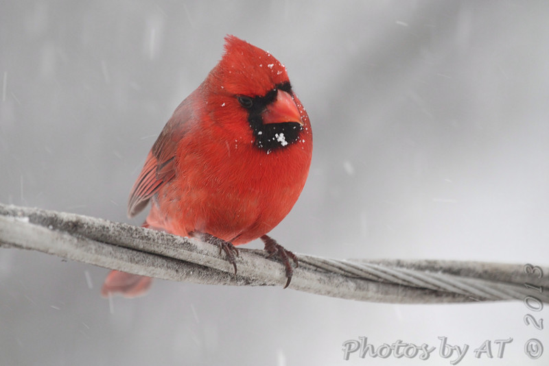 Northern Cardinal <br /> Bridgeton, Mo. <br /> 02/21/2013