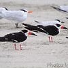 Black Skimmers with  Royal Terns and Sandwich Tern in background  Port Aransas beach  Texas
