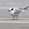 Forster's Tern <br /> Port Aransas beach <br /> Texas