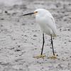 Snowy Egret <br /> Port Aransas beach <br /> Texas