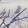 Harris's Sparrow <br /> Austin, Texas
