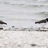 American Oystercatchers <br /> Rockport Beach City Park  <br /> Texas