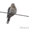 White-winged Dove <br /> Austin, Texas