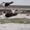 Black Skimmers <br /> Rockport Beach City Park  <br /> Texas