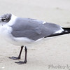Laughing Gull <br /> Port Aransas beach <br /> Texas