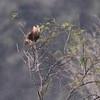 Crested Caracara <br /> Lamar Peninsula <br /> Rockport, Texas