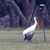 Whooping Cranes <br /> and Guineafowl<br /> Lamar Peninsula <br /> Rockport, Texas