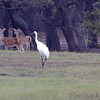 Whooping Cranes <br /> and Whitetail Deer  <br /> Lamar Peninsula <br /> Rockport, Texas