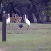 Whooping Cranes <br /> Guineafowl and Whitetail Deer  <br /> Lamar Peninsula <br /> Rockport, Texas