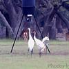 Whooping Cranes <br /> Lamar Peninsula <br /> Rockport, Texas