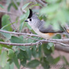 Black-crested Titmouse<br /> Falcon State Park <br /> Texas